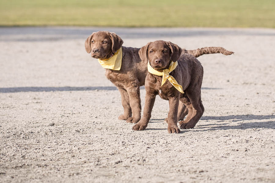 Retriever puppies with yellow bandanas