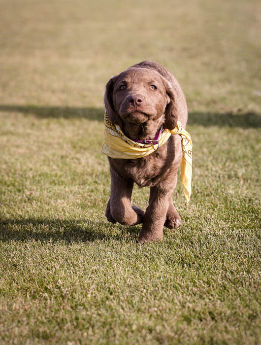 Brown retriever puppy in yellow bandana