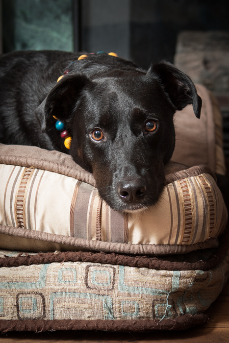 Black dog in beaded collar on two beds